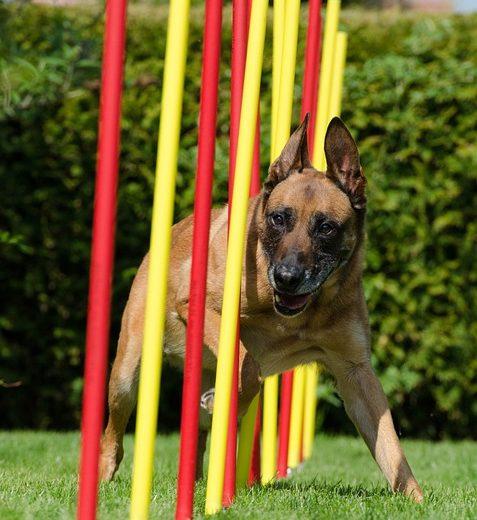 Ukázka agility - pes dělá slalom